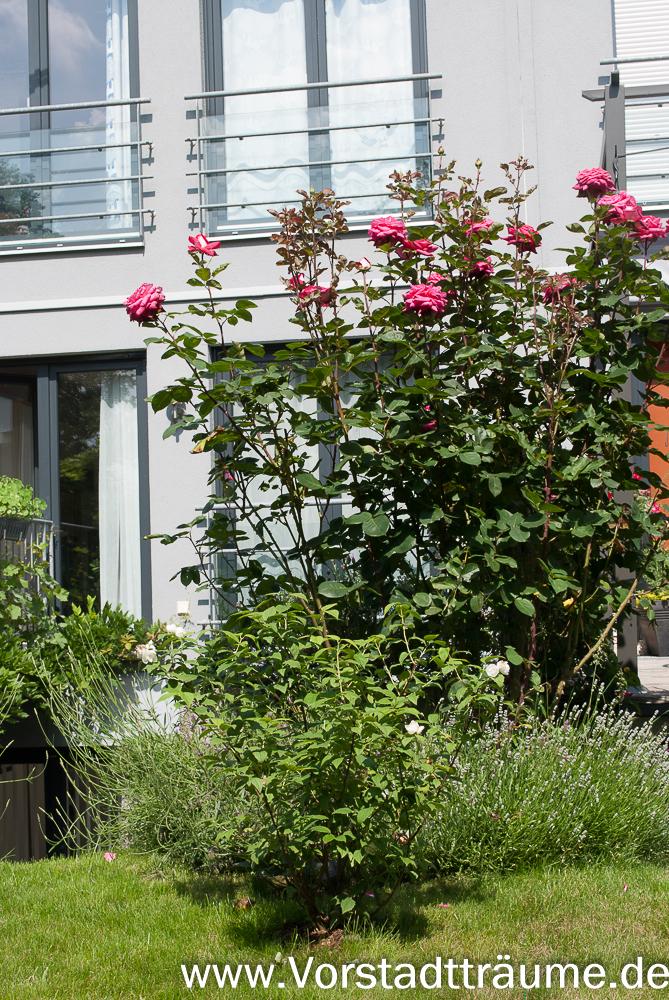 pflanzen des monats vorstadt tr ume. Black Bedroom Furniture Sets. Home Design Ideas