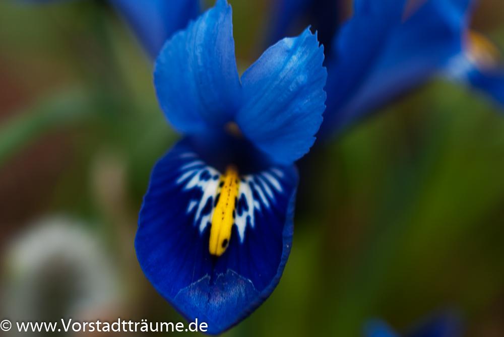 Fabelhaft Blau, Gelb, Lila... Oh ihr meine schönen Frühblüher   Vorstadt Träume #PD_07