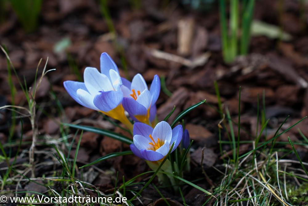 Fabelhaft Blau, Gelb, Lila... Oh ihr meine schönen Frühblüher   Vorstadt Träume #KW_81