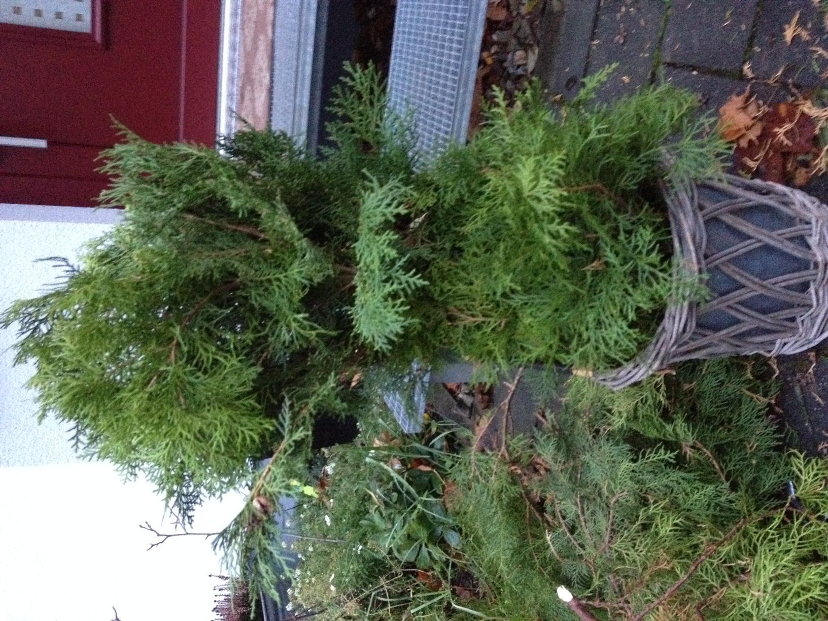 Weihnachtsbaum Aus Lebensbaum Thuja